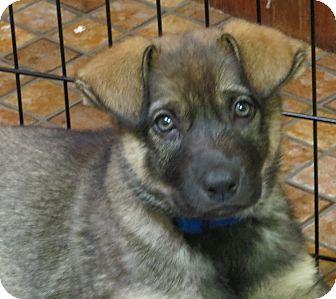 German Shepherd Dog/Catahoula Leopard Dog Mix Puppy for adoption in Saint Paul, Minnesota - Betsy