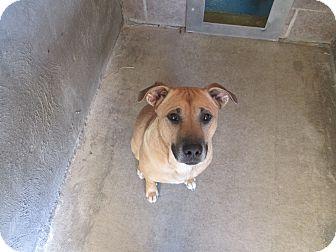 Boxer Mix Dog for adoption in Delta, Colorado - MaMa