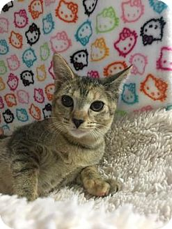 Domestic Shorthair Kitten for adoption in Fountain Hills, Arizona - OPHELIA