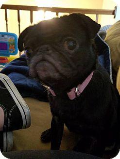 Pug Dog for adoption in WESTMINSTER, Maryland - Lola