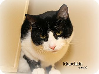 Domestic Shorthair Cat for adoption in Glen Mills, Pennsylvania - Munchkin