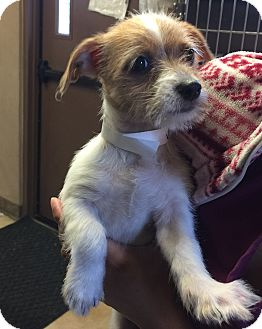 Jack Russell Terrier Mix Puppy for adoption in San Antonio, Texas - Skipper