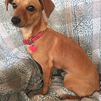Dachshund Mix Dog for adoption in Tomball, Texas - Donny