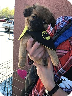 Poodle (Miniature)/Terrier (Unknown Type, Small) Mix Puppy for adoption in Redondo Beach, California - Kayden-ADOPT Me!