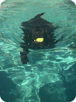 Labrador Retriever Dog for adoption in Phoenix, Arizona - Woodrow