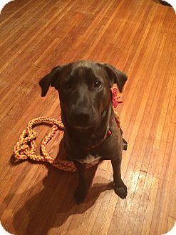 Labrador Retriever Mix Dog for adoption in Smithfield, North Carolina - Bo