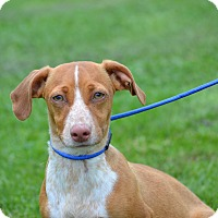 Beagle/Dachshund Mix Puppy for adoption in Springfield, Virginia - Rooster