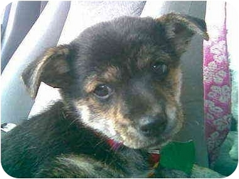 Australian Cattle Dog Mix Puppy for adoption in Provo, Utah - Coyotee