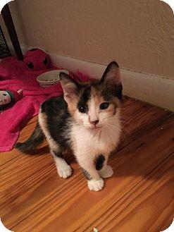 Domestic Shorthair Kitten for adoption in Gainesville, Florida - Capella