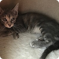 Domestic Shorthair Kitten for adoption in Tampa, Florida - Paisley