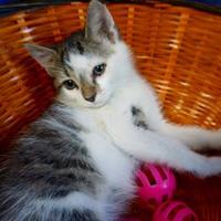 Bengal/Domestic Shorthair Mix Cat for adoption in Salem, Ohio - Heath