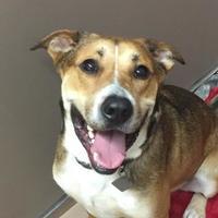 Adopt A Pet :: Kobe - Carrollton, TX