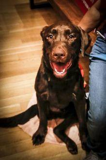 Labrador Retriever Mix Dog for adoption in Dallas, Texas - zzTilt