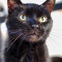 Domestic Shorthair/Domestic Shorthair Mix Cat for adoption in New Freedom, Pennsylvania - Carlisle