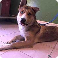 German Shepherd Dog Dog for adoption in Gardena, California - OSO