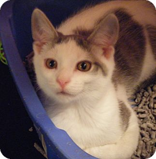 Domestic Shorthair Kitten for adoption in Kensington, Maryland - Turk