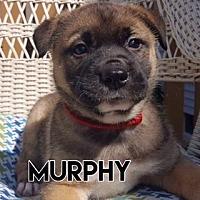 Adopt A Pet :: Murphy Red Collar - Valparaiso, IN