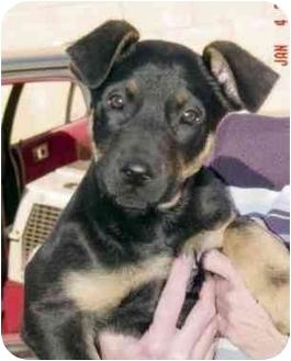 Rottweiler/German Shepherd Dog Mix Puppy for adoption in Rolling Hills Estates, California - Bernard