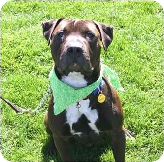 Shar Pei/American Pit Bull Terrier Mix Dog for adoption in Auburn, California - Bubba