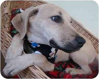 Labrador Retriever Mix Puppy for adoption in Haughton, Louisiana - Zoey