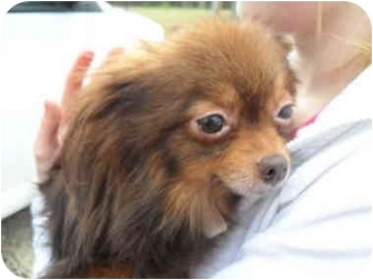 Pomeranian Dog for adoption in Lonedell, Missouri - Carmel
