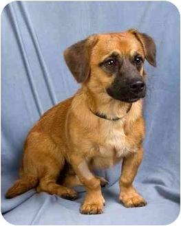 Rat Terrier/Shih Tzu Mix Dog for adoption in Anna, Illinois - CHUBS