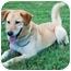 Photo 2 - Labrador Retriever/Shepherd (Unknown Type) Mix Dog for adoption in Zanesville, Ohio - Jacei - ADOPTED!