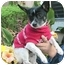 Photo 1 - Chihuahua Dog for adoption in Poway, California - Ace