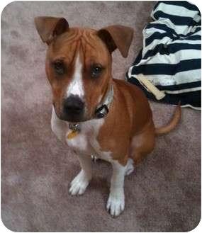 Boxer/American Pit Bull Terrier Mix Dog for adoption in Salem, Oregon - Titan