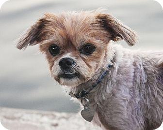 Shih Tzu Dog for adoption in North Palm Beach, Florida - Ike