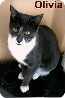 Domestic Shorthair Cat for adoption in Medway, Massachusetts - Olivia