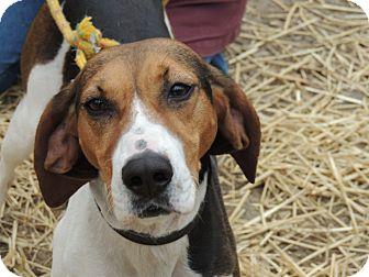 Treeing Walker Coonhound Dog for adoption in Harrisonburg, Virginia - Lucy Lou