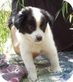 Border Collie/Australian Cattle Dog Mix Puppy for adoption in Spring Valley, New York - Adeline