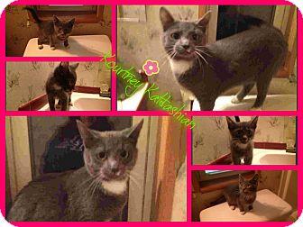 Domestic Shorthair Cat for adoption in Plainfield, Connecticut - Kourtney Katdashian