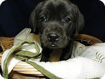 Labrador Retriever Mix Puppy for adoption in Waldorf, Maryland - Scarlett