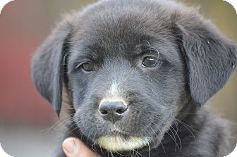 Border Collie Mix Puppy for adoption in Woodlyn, Pennsylvania - Tater