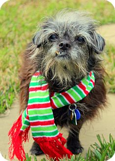 Schnauzer (Miniature)/Yorkie, Yorkshire Terrier Mix Dog for adoption in College Station, Texas - Pepper