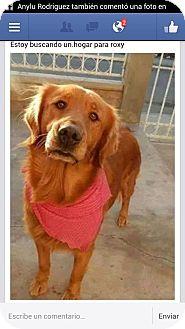 Golden Retriever Dog for adoption in San Diego, California - Roxy