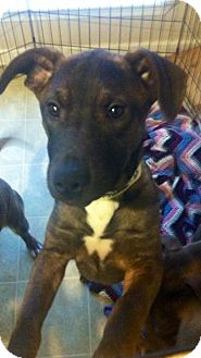 Cattle Dog Mix Dog for adoption in Hatifeld, Pennsylvania - Phoebe