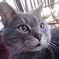 Domestic Shorthair Cat for adoption in East Stroudsburg, Pennsylvania - Tom Sawyer