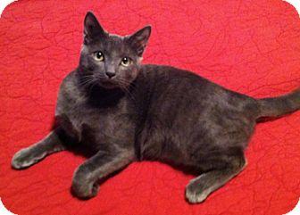 Domestic Shorthair Cat for adoption in Bryan, Texas - Hot Daniel!