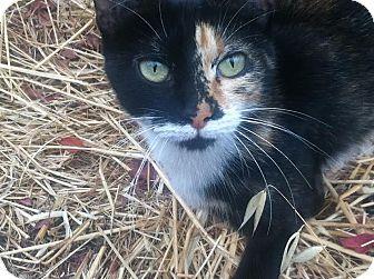 Domestic Shorthair Cat for adoption in Alamo, California - Olivia
