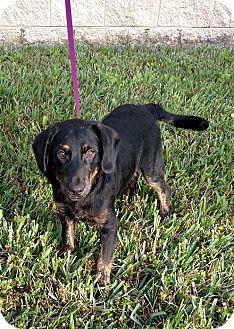 Rottweiler/Labrador Retriever Mix Puppy for adoption in Oviedo, Florida - Buck