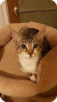 Domestic Shorthair Kitten for adoption in Arlington/Ft Worth, Texas - Tracy