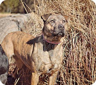 Retriever (Unknown Type)/Terrier (Unknown Type, Medium) Mix Dog for adoption in Marietta, Georgia - Hailey