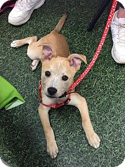 Terrier (Unknown Type, Medium) Mix Puppy for adoption in Cleveland, Ohio - Paddy Whack