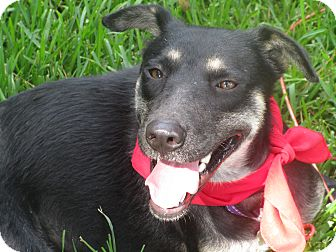 Shepherd (Unknown Type)/Collie Mix Dog for adoption in Ann Arbor, Michigan - A - LILA