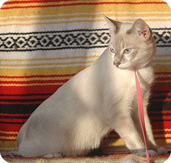 Siamese Cat for adoption in Anderson, South Carolina - Milo