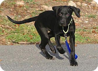 Retriever (Unknown Type) Mix Puppy for adoption in Gloucester, Massachusetts - Rain