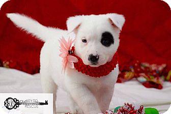 Collie Mix Puppy for adoption in DeForest, Wisconsin - Spencer